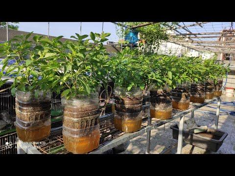 RAU QUẾ BÌNH 5 lít nước dinh dưỡng còn giữ phần dưới đáy bình rau luôn xanh tốt   Khoa Hien 370