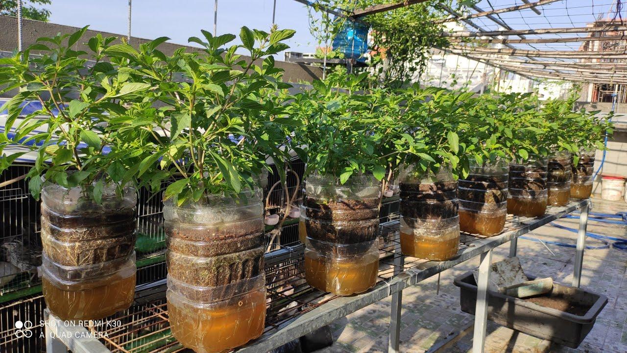 RAU QUẾ BÌNH 5 lít nước dinh dưỡng còn giữ phần dưới đáy bình rau luôn xanh tốt | Khoa Hien 370