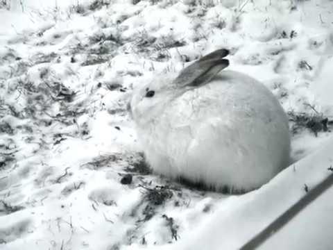 """Arvo Pärt  """"Spiegel Im Spiegel"""" (Resting Rabbit)"""