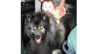 Baby Cries When Fluffy Dog Fake Dies - Clancy The Keeshond