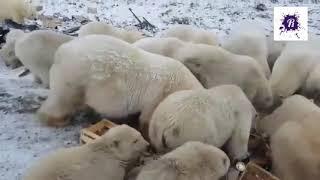 Белые Медведи на Новой Земле   2019