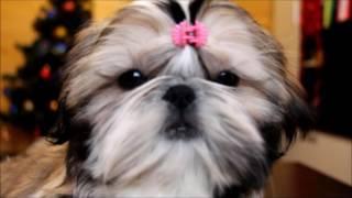 щенок ши тцу  - трехмесячная девочка