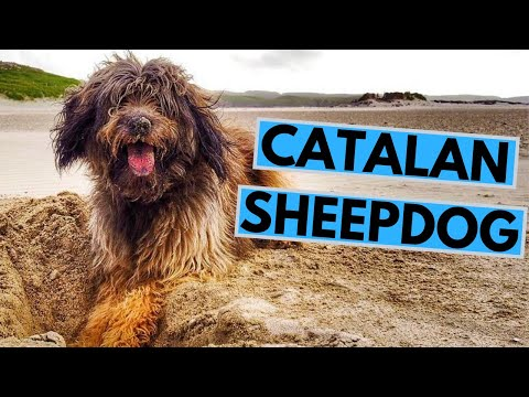 Catalan Sheepdog Breed - Facts and Information