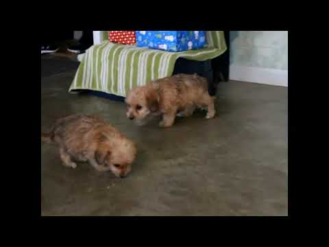Yorkie-Chon Puppies For Sale