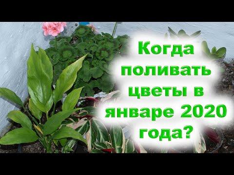 Когда поливать цветы в январе 2020 года? В благоприятные дни стихий Воды и Земли. Исключите поливы в