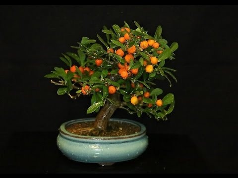 citrus japonica 'hindsii' kumquat, Beautiful flower
