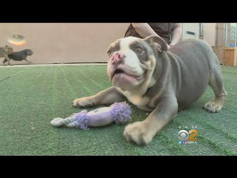Dozens of Bulldogs Rescued from A Puppy Mill Up For Adoption