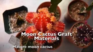 Cassandre Denis Cactus Grafting