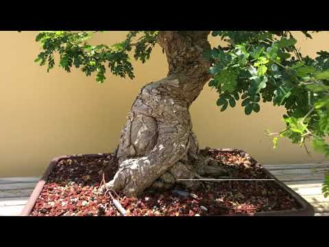 Bonsai Garden Tour At Morikami Museum & Japanese Gardens