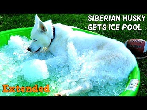Siberian Husky gets ICE POOL Extended