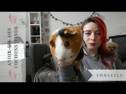 🐺 CONSEILS | Avoir Des COCHONS D'INDE