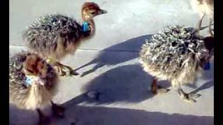 Ostrich Chicks Farm in Pakistan