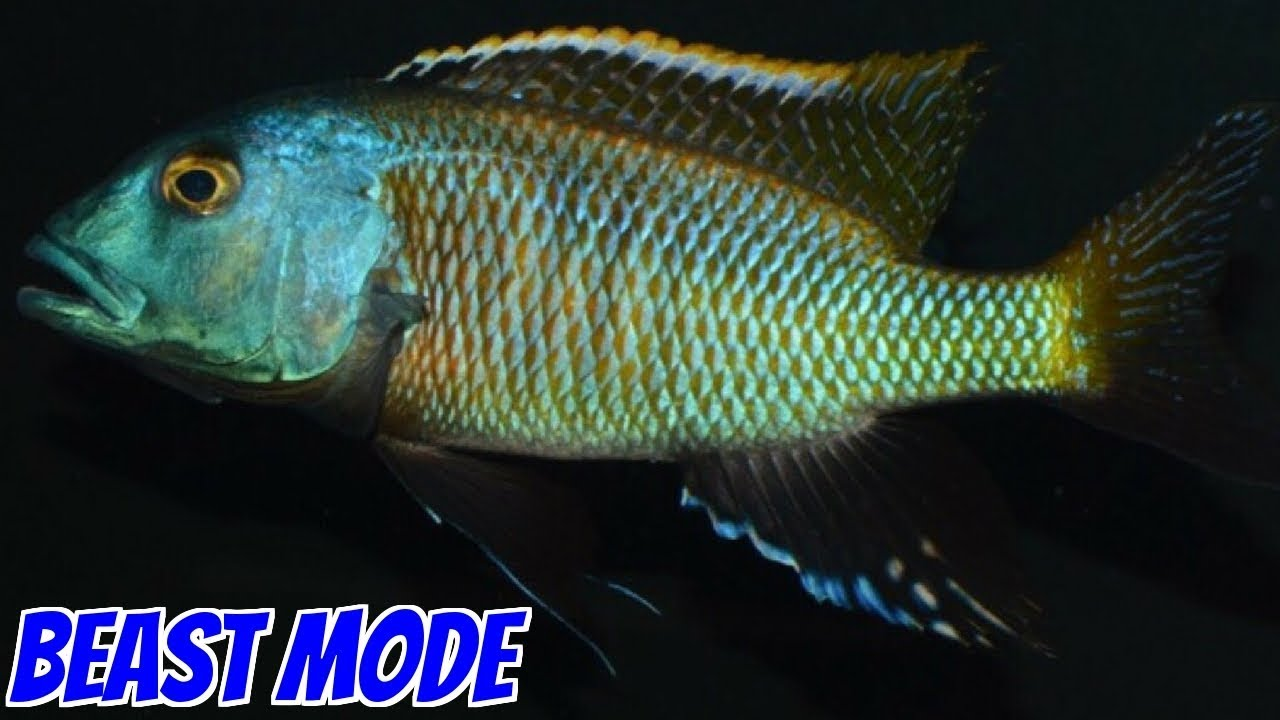 Looks At The Colors On This Dominant African Cichlid Aquarium Fish ...