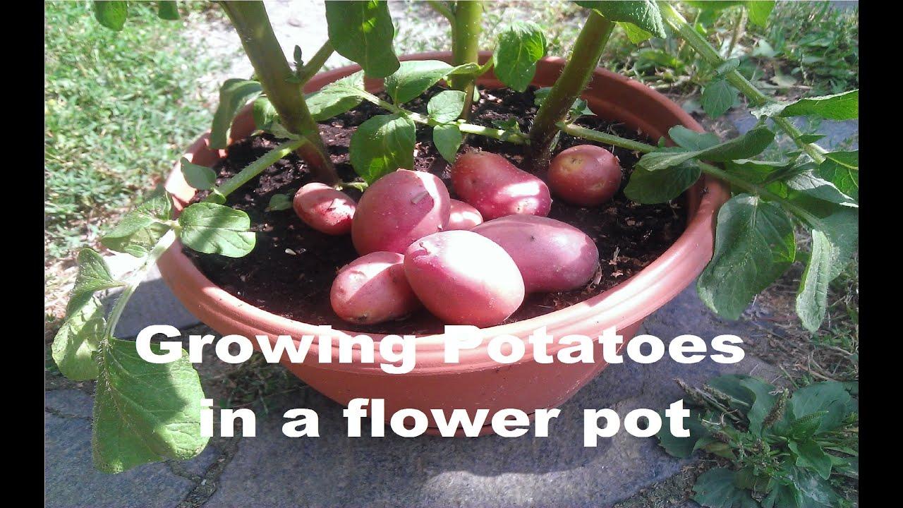 Growing Potatoes Inside A Flower Pot