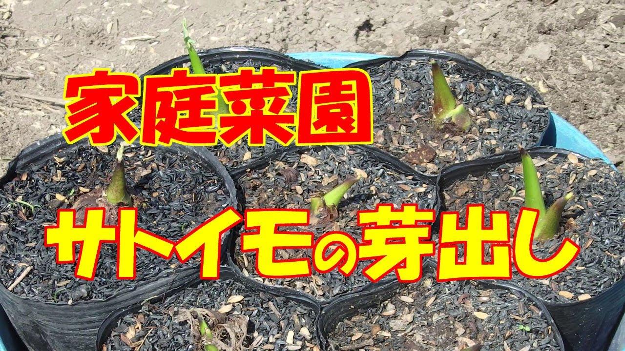 家庭菜園・サトイモの芽出し