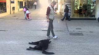 Dog Plays Dead Training Tips And Tricks In Benidorm Spain - Tutorial Example Video