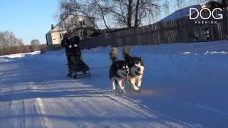 Fashion Dog TV - Аляскинский маламут, покатушки в питомнике Runner Star