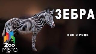 Зебра - Все о породе рода лошади | Вид Зебра