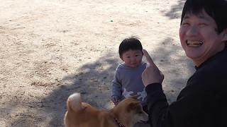 柴犬BOSS(7か月)のしつけ訓練中、『おすわりっ』に反応してしまうしゅ...