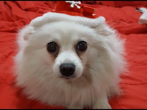 German Spitz: We Wish You A Merry Chtristmas!!!