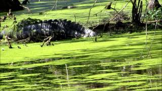 Immense Alligator Protects Bird Nests Cypress Wetlands thumbnail