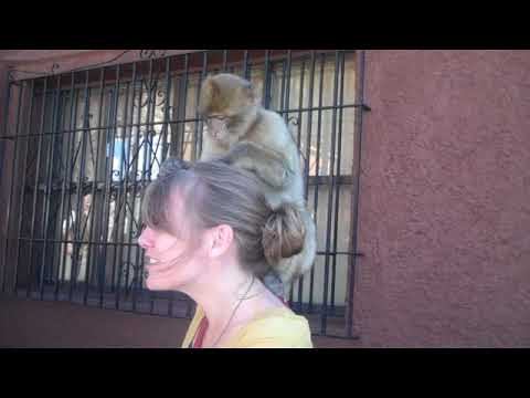 Baby Barbary Ape on Erica's Head in Gibraltar