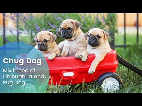 Chug dog - The new mix breed of chihuahua and pug dog