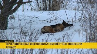 Повесивших собаку живодёров ищут в Могилёве