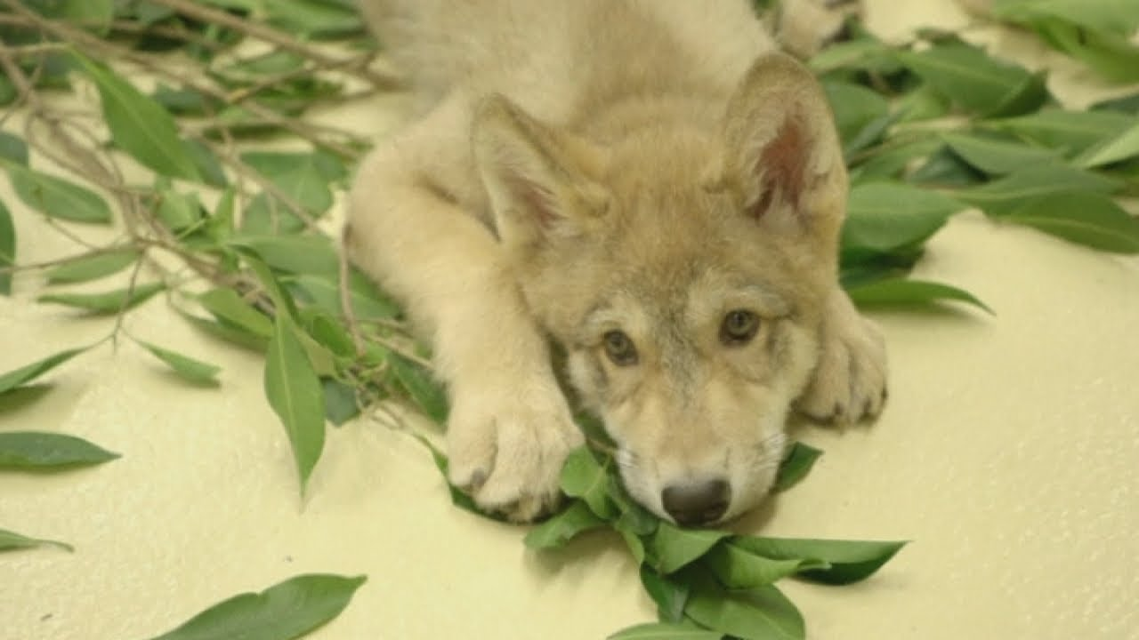 cute adorable grey wolf pup becomes san diego zoos