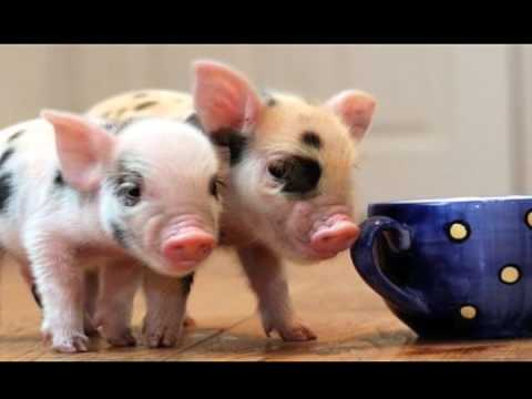teacup pigs youtube. Black Bedroom Furniture Sets. Home Design Ideas