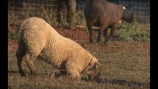 Le piétin chez les moutons et les chèvres