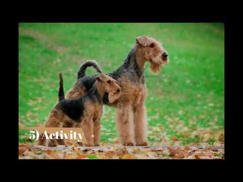 Welsh Terrier   Top 10 Interesting Facts