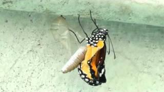 家中屋頂的馬利筋日前吸引了樺斑蝶媽媽產卵,這是一隻正在破蛹而出的蝴...