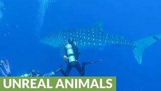 Scuba divers receive surprise visit from massive whale shark