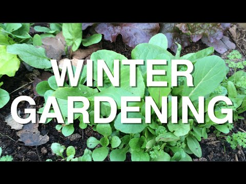 Winter Gardening in Zone 3 Overwintering Leafy Greens