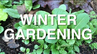 Winter Gardening in Zone 3 Overwintering Leafy Greens