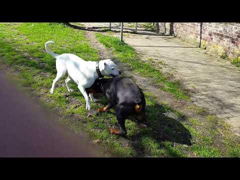 Doberman vs Dogo Argentino! 2 Massive Dogs Must See...