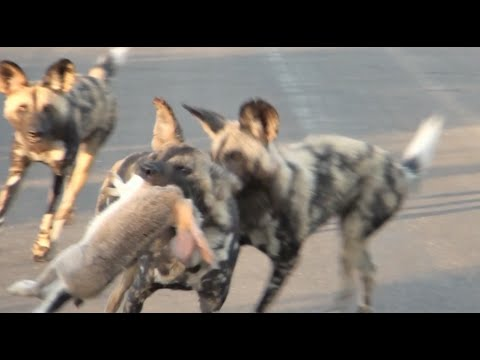 Wild Dogs Pull Apart Hare in The Road | Kruger National Park
