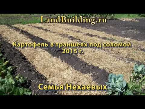 Картофель под соломой в траншеях 2016. Семья Нехаевых.