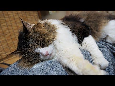 飼い主をベットにするボス猫 Boss cat sleeping on the owner's body