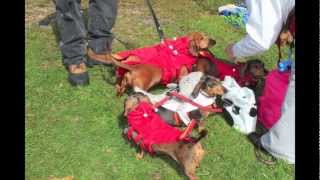 Attending Dachtoberfest 2012 In Middletown Pa Hosted By Coast To Coast Dachshund Rescue