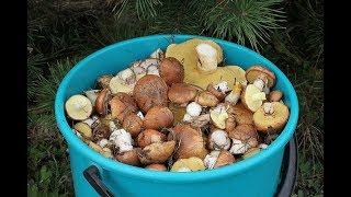 Грибы маслята. ч.1 Собирание грибов.