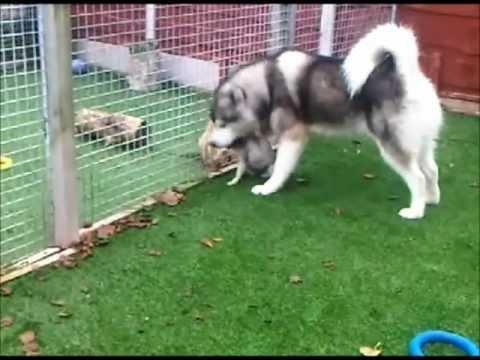 Alaskan Malamute and Pug - Best Friends