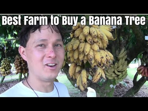 Best Farm To Buy A Banana Tree In South Florida