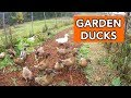 Ducks for Pest Management in the Garden