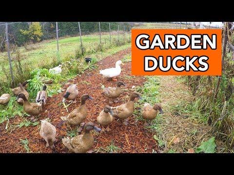 Ducks Hunt for Bugs in the Garden