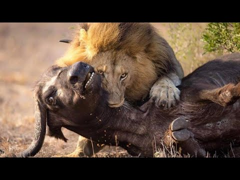 Brutal Lions Hunting Buffalo and Devouring it in No Time – Wild Full HD 1080p
