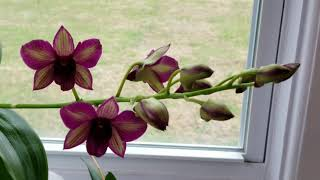 What types of orchids do I recommend for water culture?