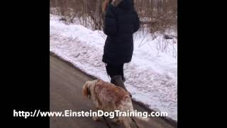 Leash Pulling Fixed In 3 Lessons! - Dog Training Bloomfield Hills, Mi