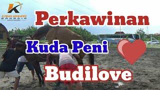 CARA MENGAWINKAN KUDA - Perkawinan Kuda Peni (Sandel Super) Dan Budilove (G3)